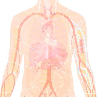 anatomia de los organos internos de un ser humano